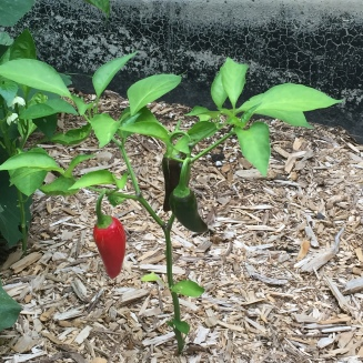 Peppers, Summer 2016