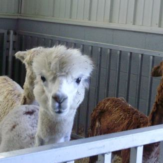 Alpaca from my vet tech school days